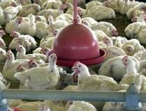Abate de frangos no país atingiu volume recorde no primeiro trimestre