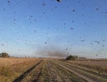 Monitoramento indica que nuvem de gafanhotos não se desloca em direção ao Brasil