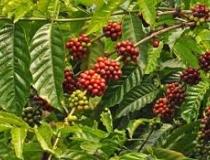 Brasil deve colher 42,15 mi de sacas de café em 2015