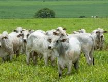 Cerca de 70 milhões de animais devem ser vacinados contra febre aftosa em novembro
