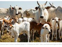 Abate de bovinos cai e de frangos é recorde no primeiro trimestre