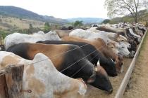 Custo elevado do grão possibilita novas estratégias para otimizar a alimentação dos animais